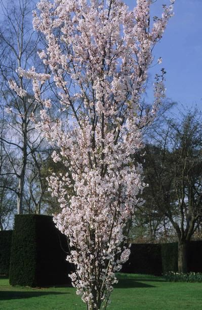 Prunus X Hillieri Spire Spire Cherry Google Search
