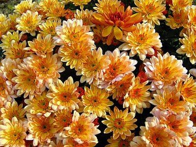cute golden chrysanthemums