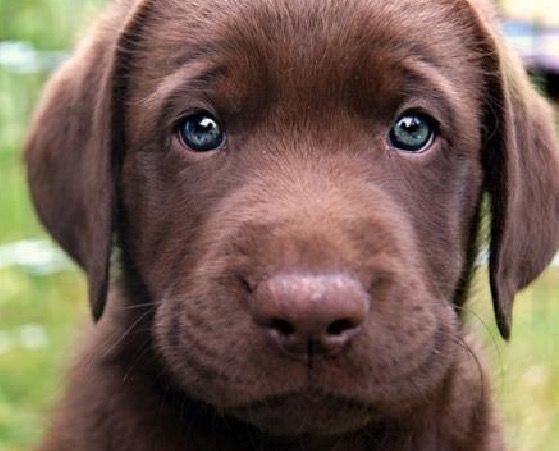 Pin By Linda Rineer On Dogs I Want Puppies Chocolate Lab Puppies Lab Puppies
