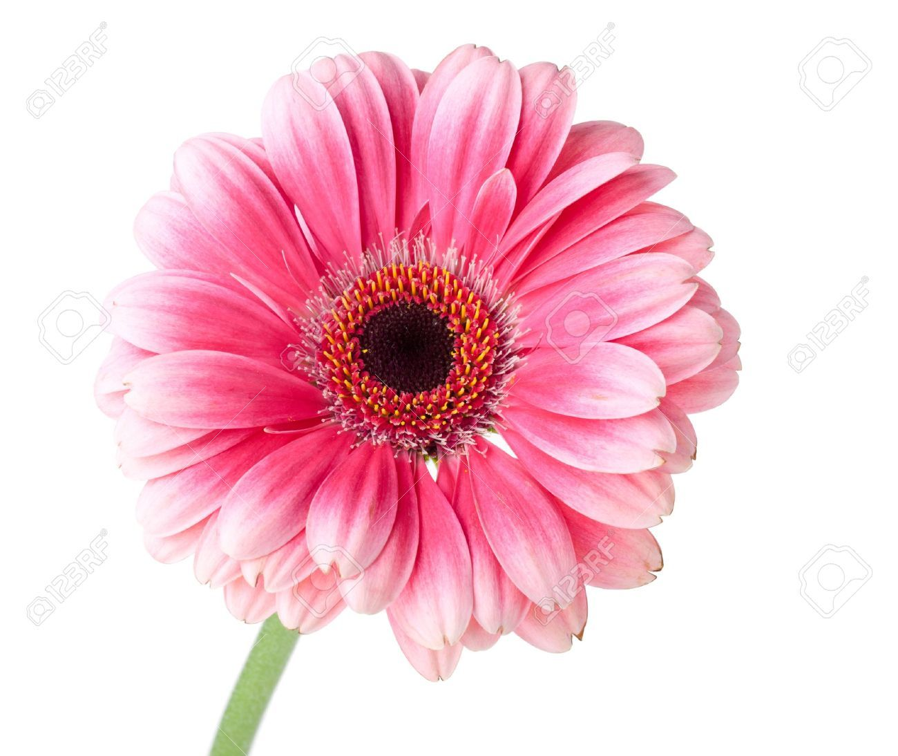Pink Gerbera Flower On Stem Isolated On White Pink Gerbera Gerbera Flower Gerbera