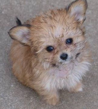 Chi Poo Chihuahua Poodle Mix Info Puppies Temperament Picture Chihuahua Poodle Mix Designer Dogs Dog Personality