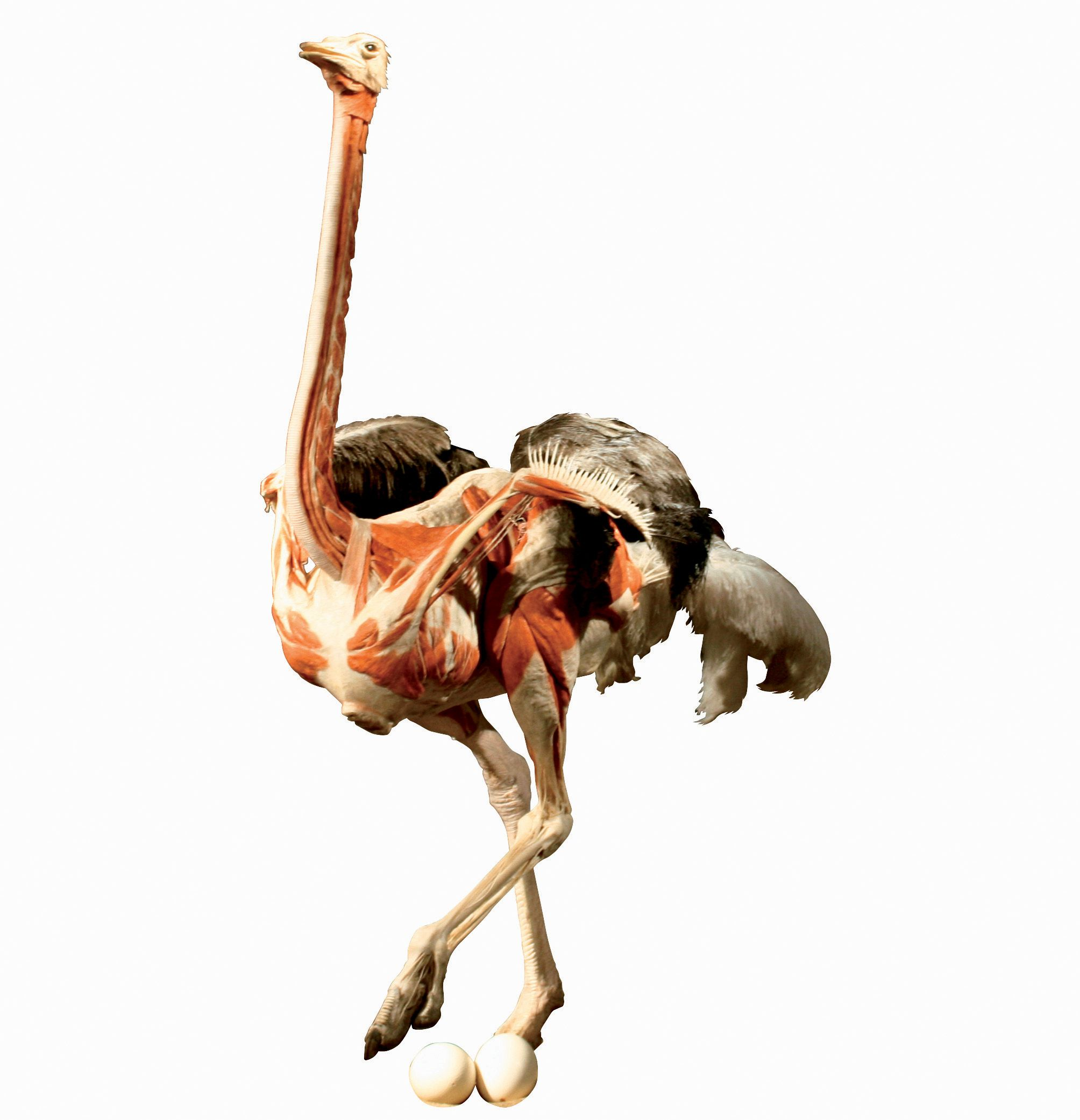 диафрагма равно строение страуса фото телевизоры