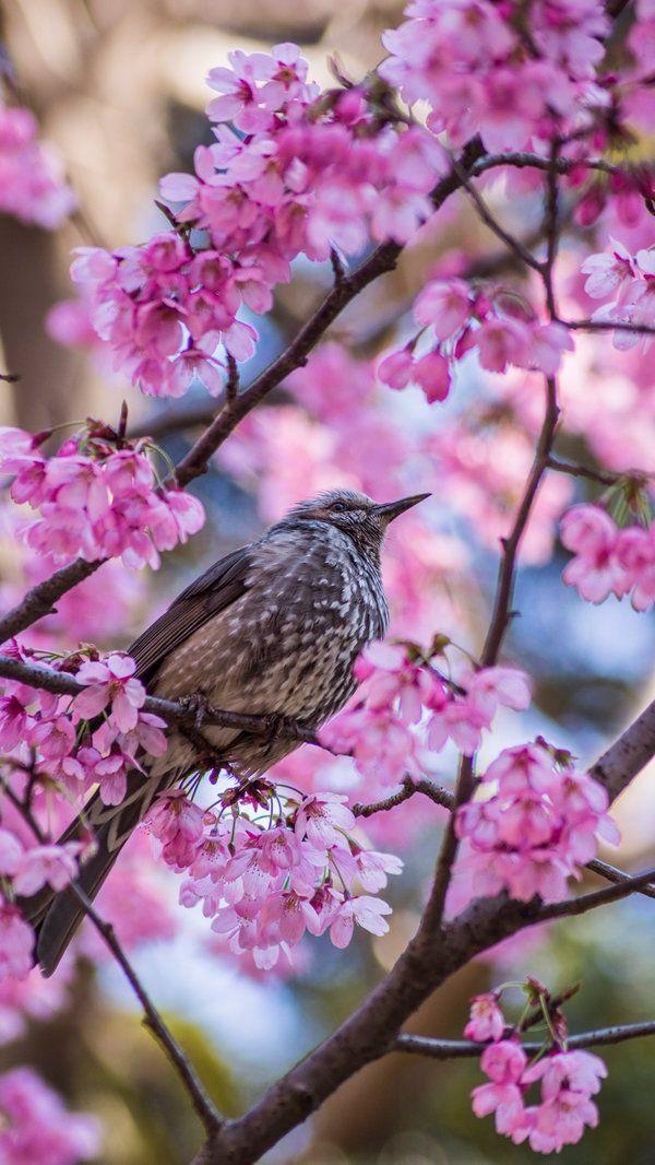 Ned The Toothpick On Twitter Beautiful Birds World Birds Japanese Cherry Blossom