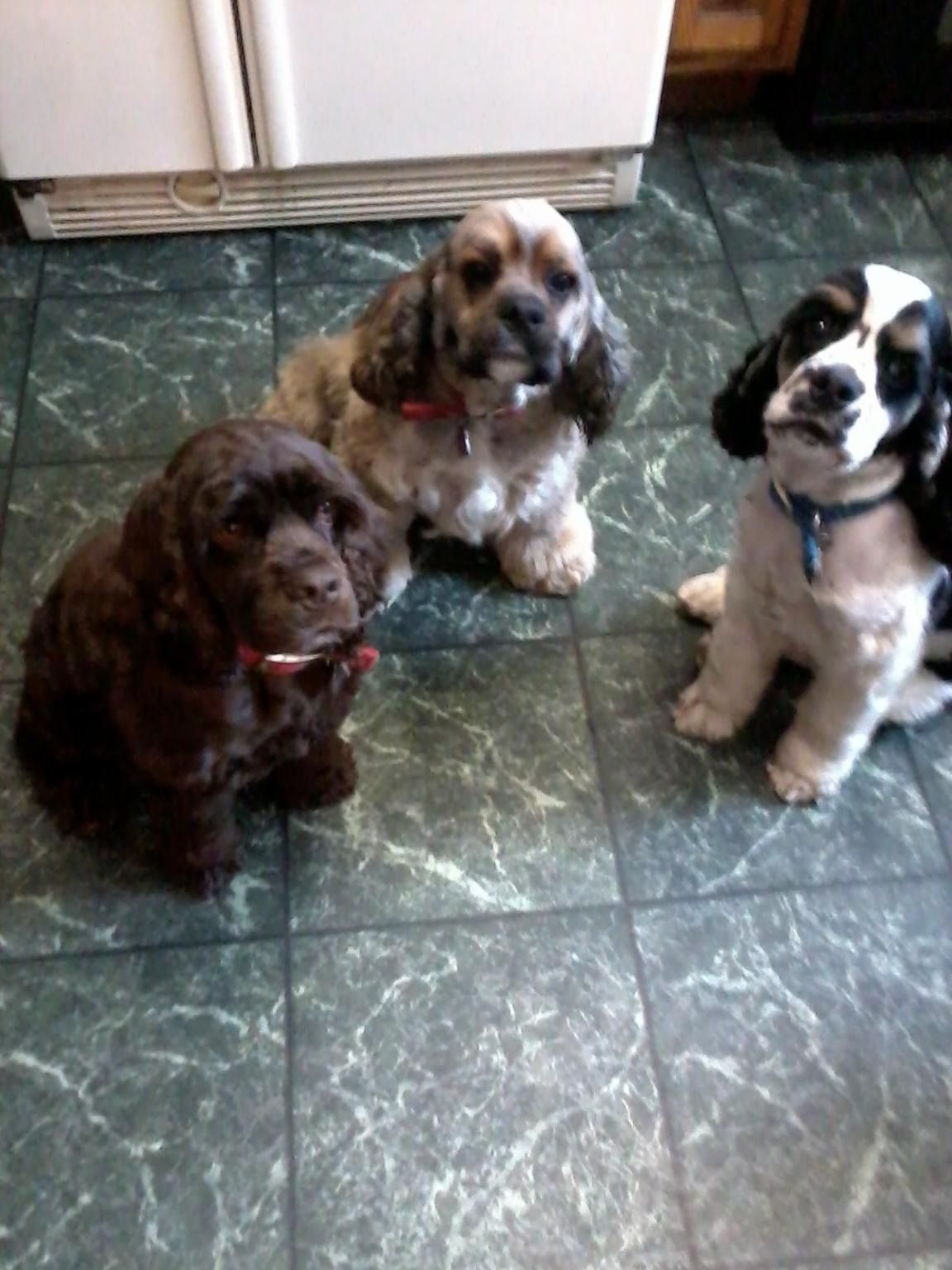 Pin By Nicole C On Cocker Spaniels American Cocker Spaniel Black Cocker Spaniel Spaniel Puppies