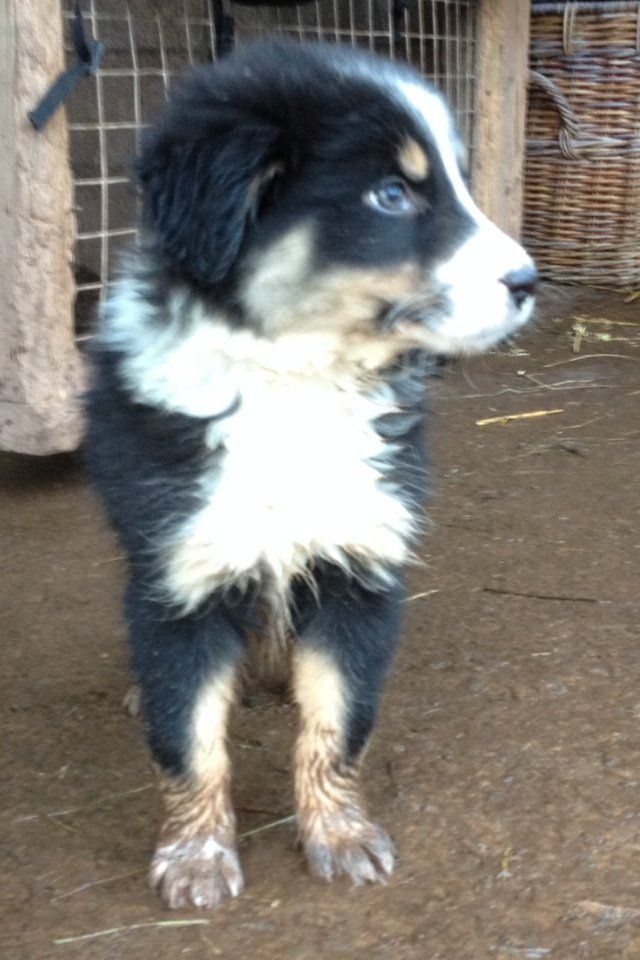 Beautiful sheepdog pups for sale Dogs for sale, Puppies