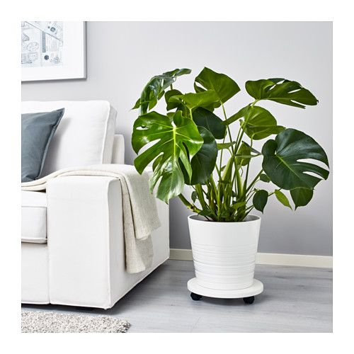 Monstera Krukväxt Monstera Mammas Ikea Plants Swiss