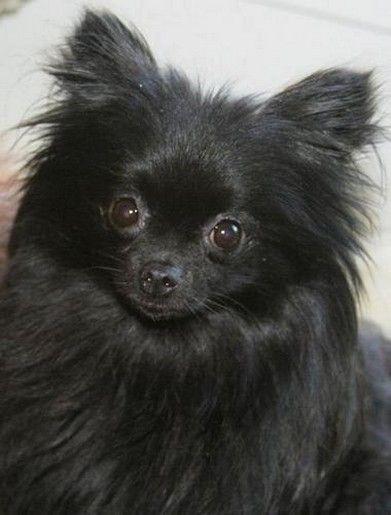 Black pomerania puppy
