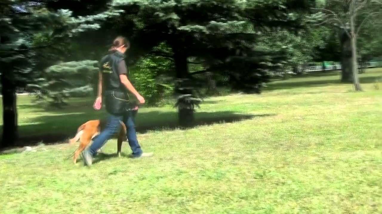 Obedience Training Command Heel Off Leash Belgianmalinois