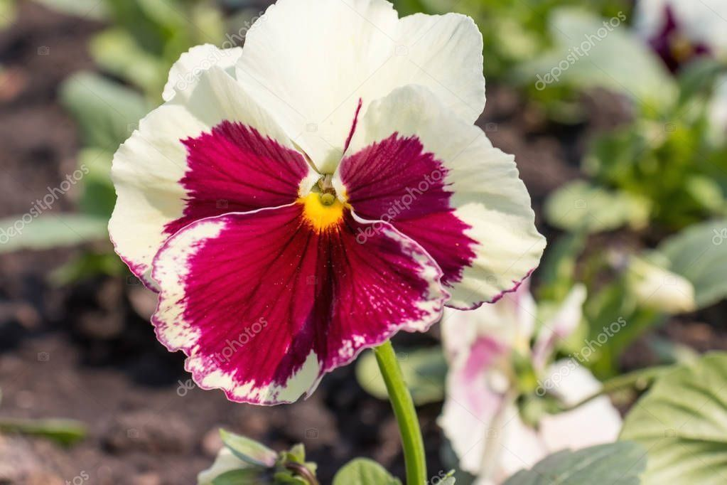 Purple And White Flower Of Pansy Viola Close Up Growing In A Flower Bed Close Up 1002 In 2020 Pansies Flowers Pansy Garden White Flowers