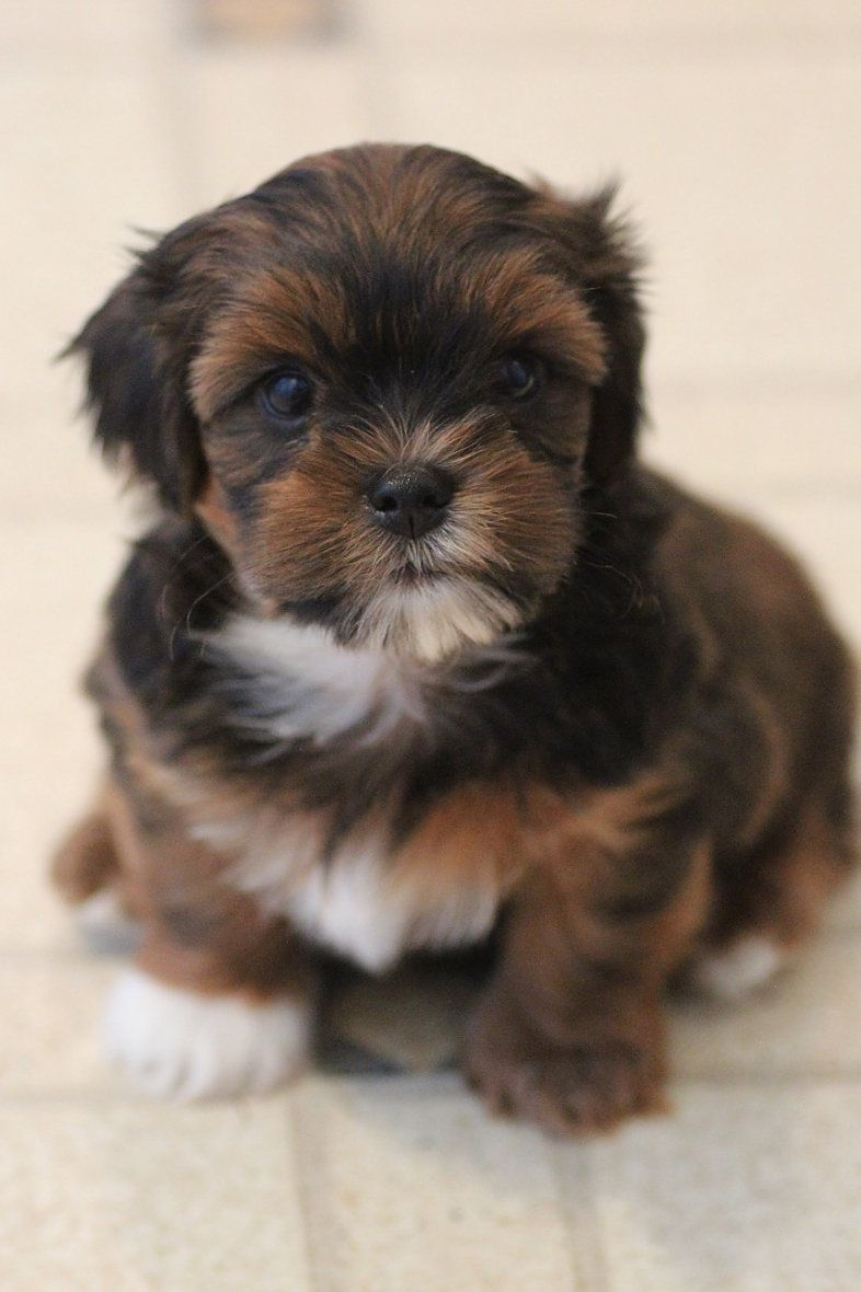 Shichon Breeder Zuchon Breeder Shih Tzu Puppy Bichon Puppies