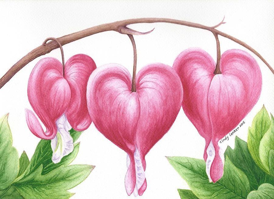 Bleeding Heart Flowers By Cindy Lenker Bleeding Heart Flower Flower Drawing Flower Art Drawing