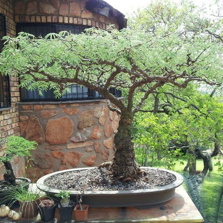 Acacia bonsai amazing bonsai trees pinterest for Bonsai hydrokultur