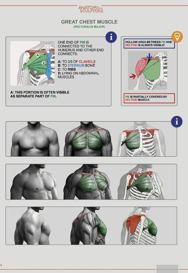 Chest Anatomy Human Anatomy Drawing Anatomy Drawing Anatomy