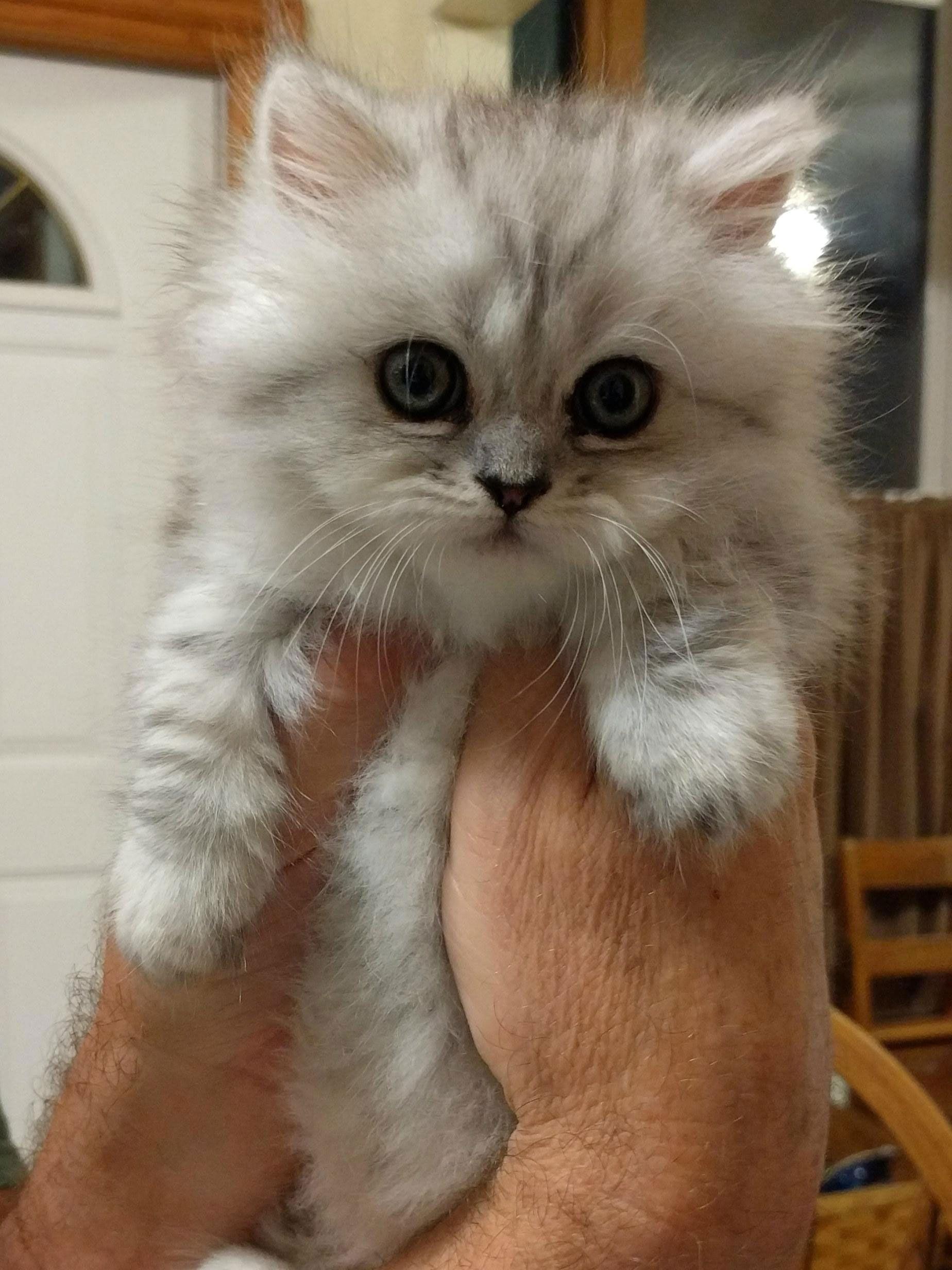 Meet Laurel She S About 90 Floof Munchkin Kitten Taiga