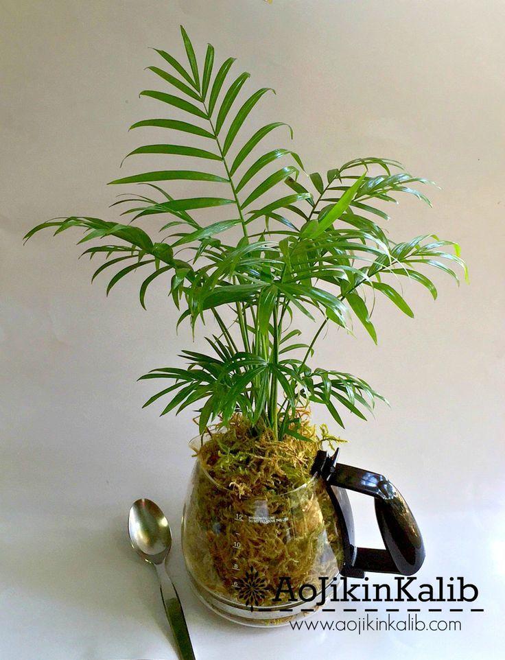 Terrarium Bella Palm Tree One Neanthe Chamaedorea Elegans Pot Parlor Palm Tropical Houseplan Terrarium Bella Palm Tree One Neanthe Chamaedorea Elegans Pot Parlor Palm Tro...
