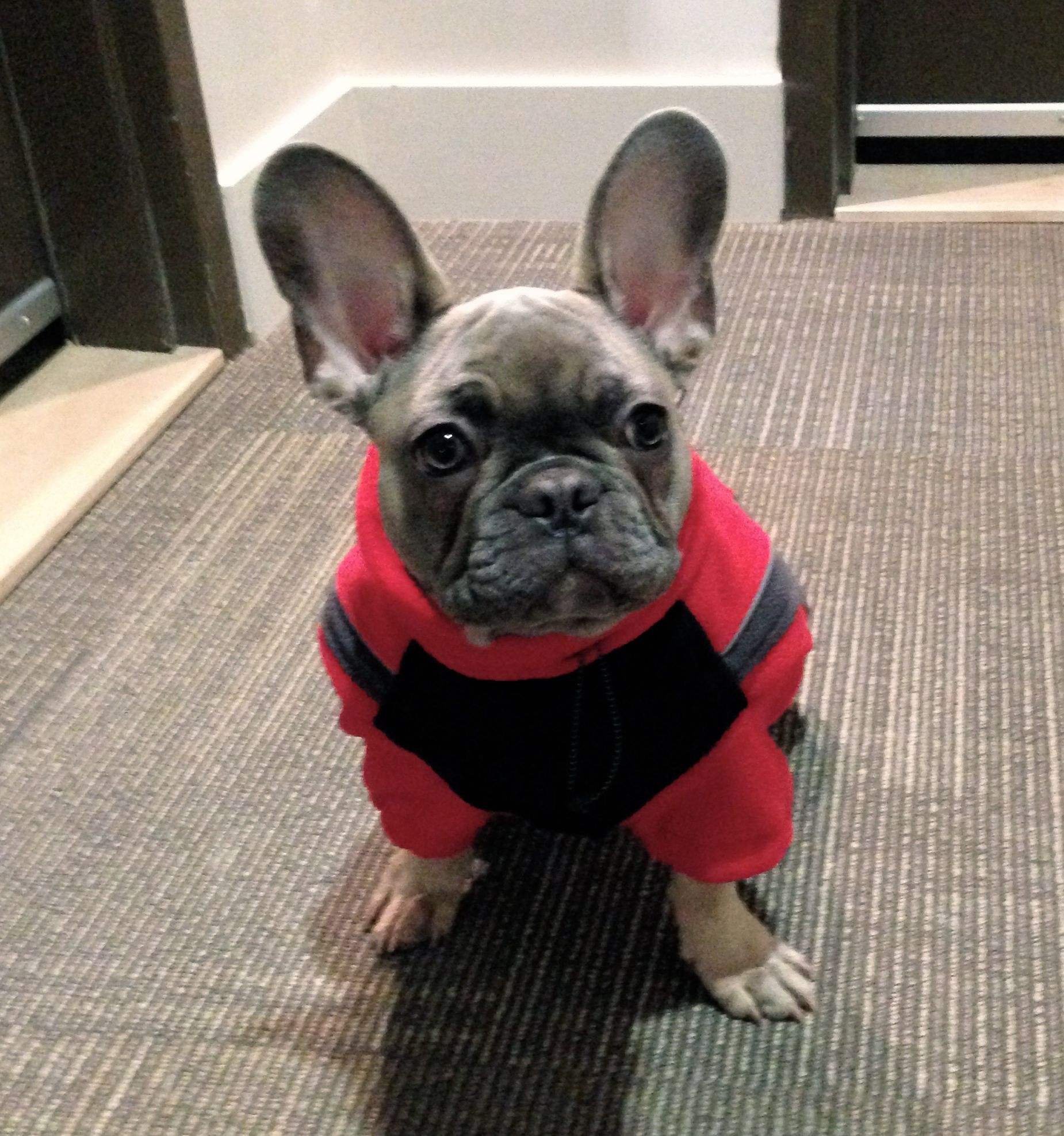 A French Bulldog Who S Ready For Winter Cute French Bulldog