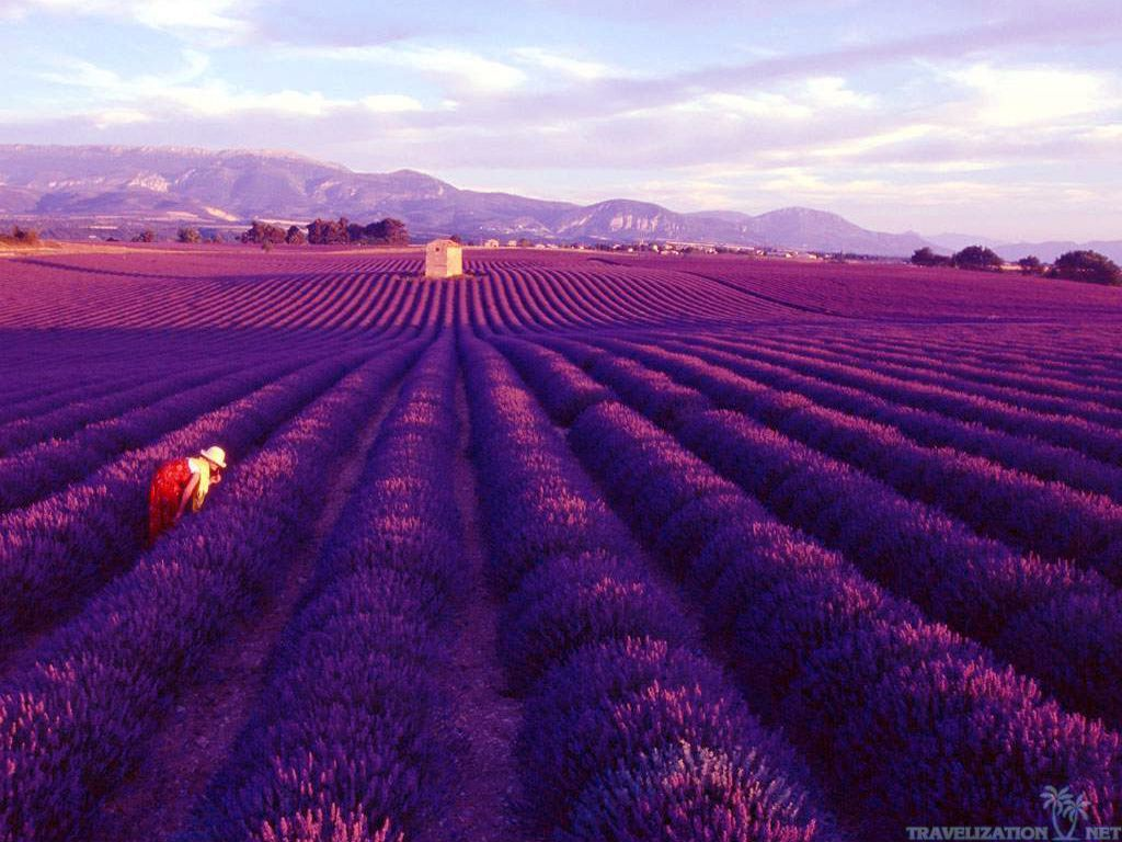 Travel Monday S Lavender Fields In Provence France 1966 Magazine Lavenderlavender Flowerslavender Fieldspurple
