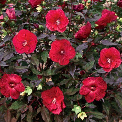 Midnight Marvel Hibiscus Breck S Hardy Hibiscus Hibiscus Plant Hibiscus