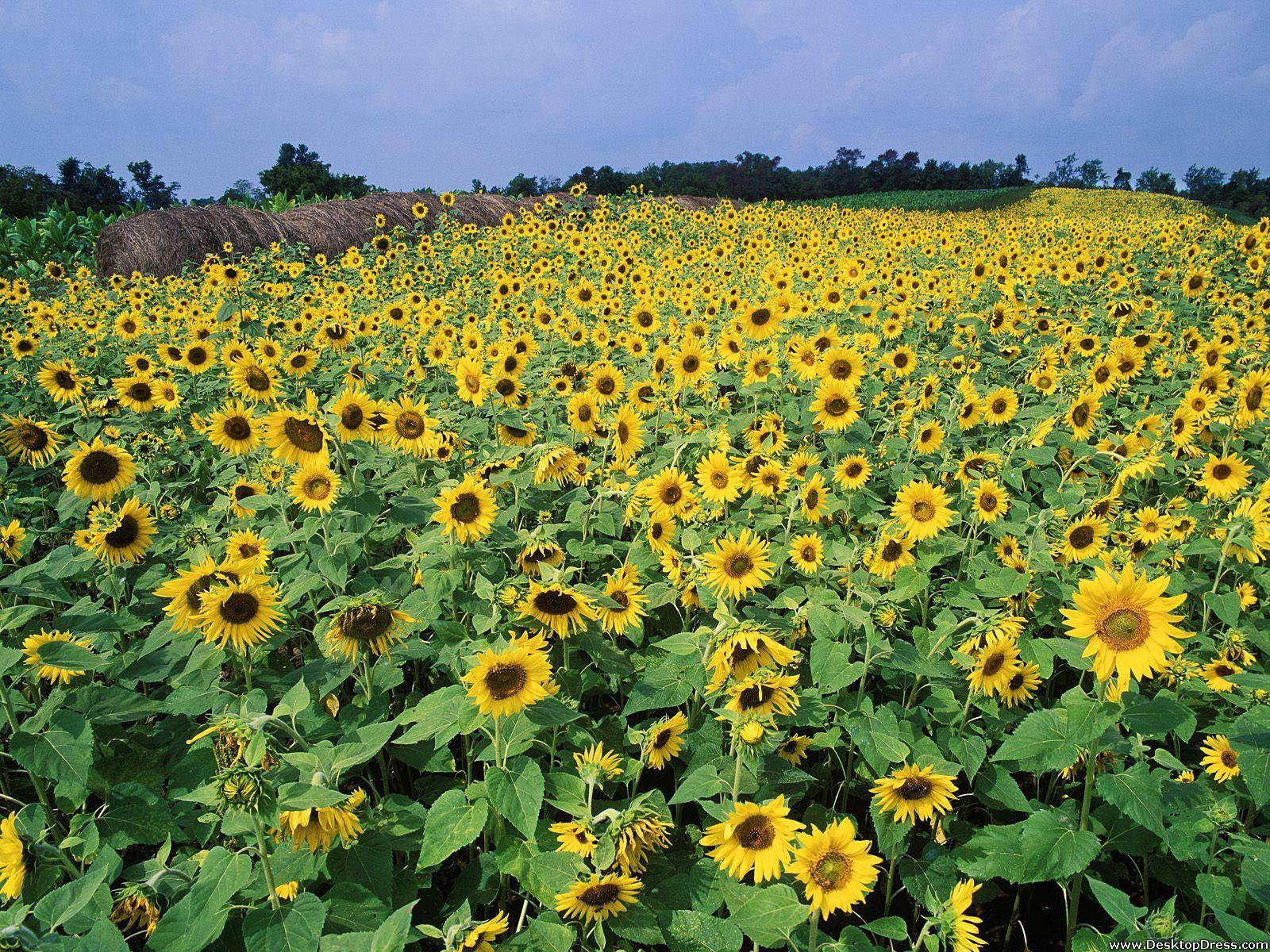 Sunflower Field, Near Lexington, Kentucky Sunflower