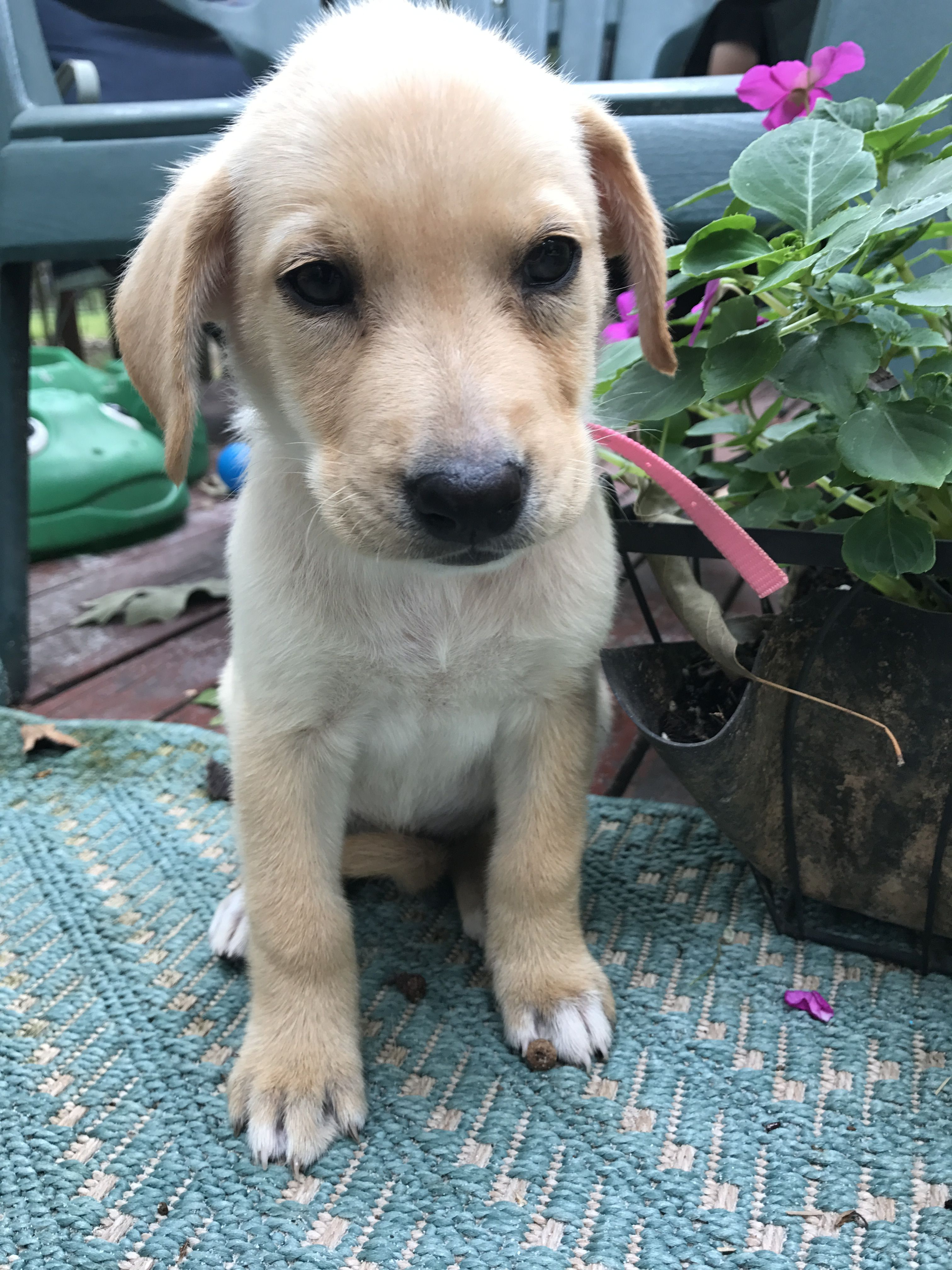 Labbe dog for Adoption in Forest, VA. ADN621335 on