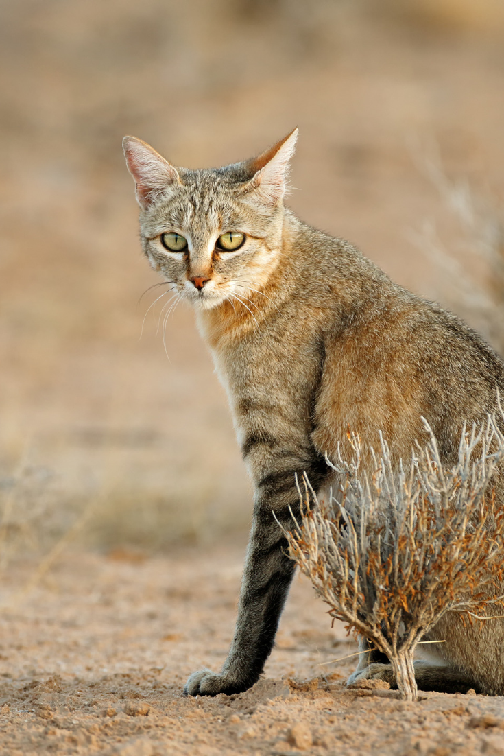 African Wildcat Myth And Truth With Images Wild Cats