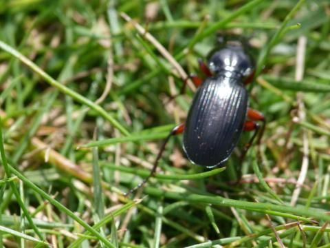 Dung Beetle: Aphodius rufipes | Nature Notes from Dorset