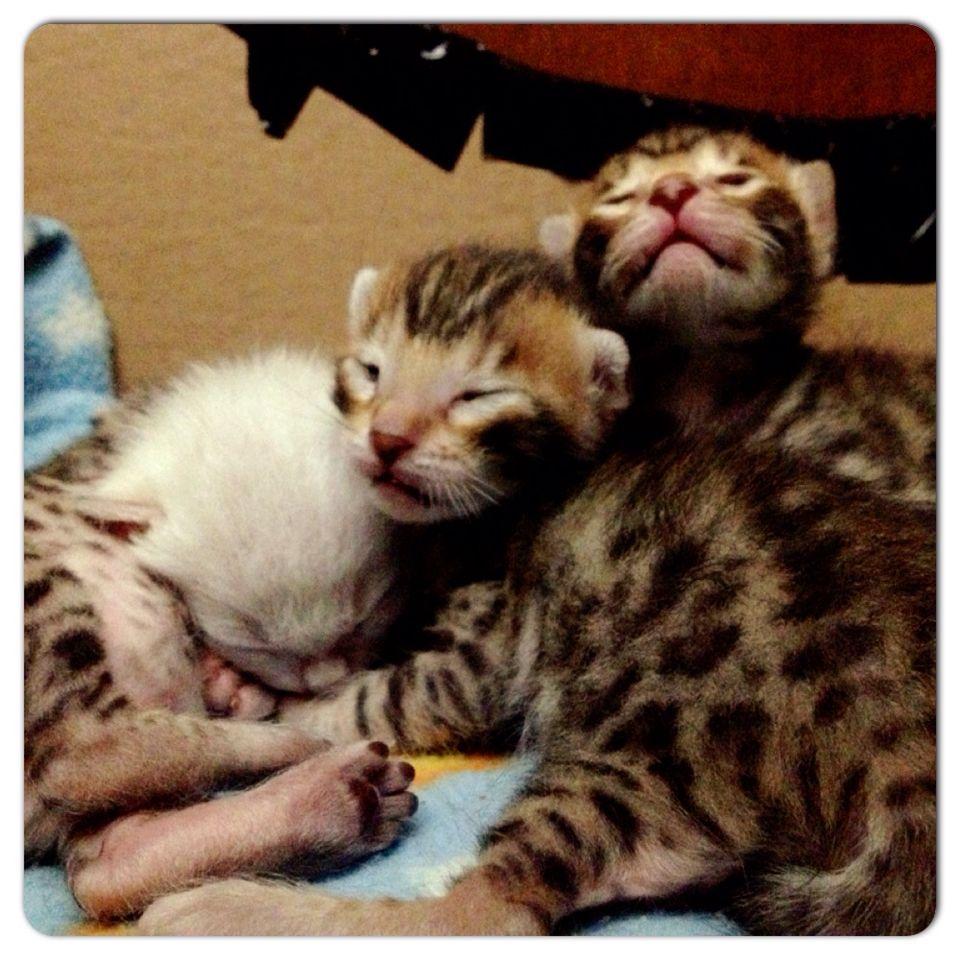 Bengal Kitten Qatar Super Sweet Bengal Kitten Bengal Cat