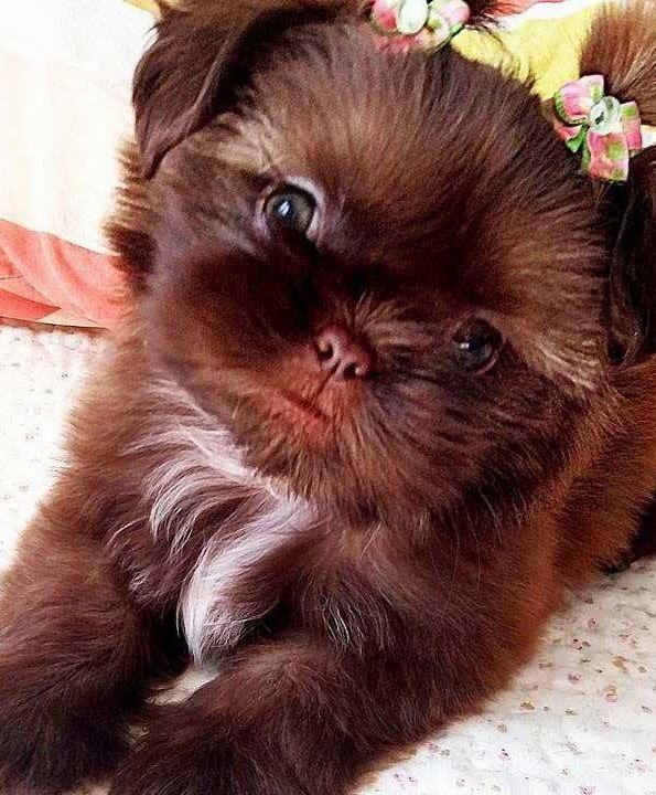 Shih Tzu With Images Cute Animals Puppies Shitzu Puppies