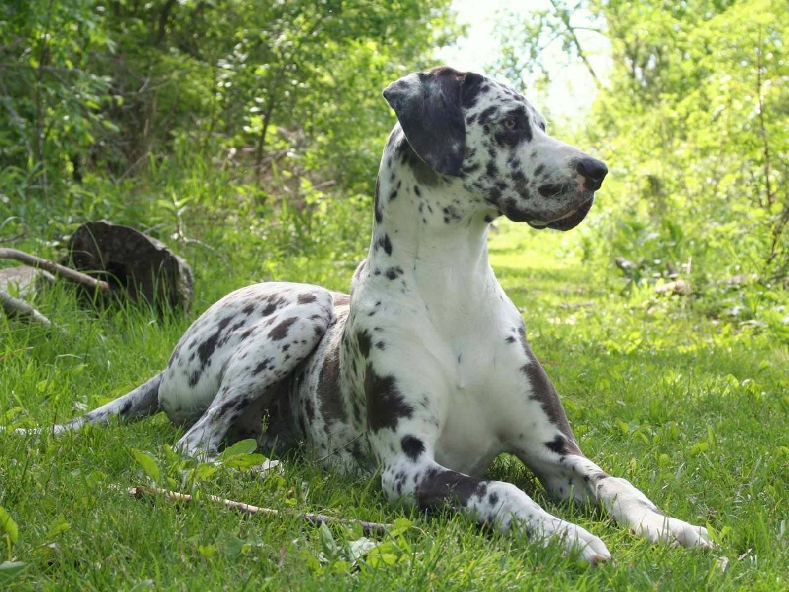 Always Wanted A Harlequin Great Dane With Natural Ears Dogs