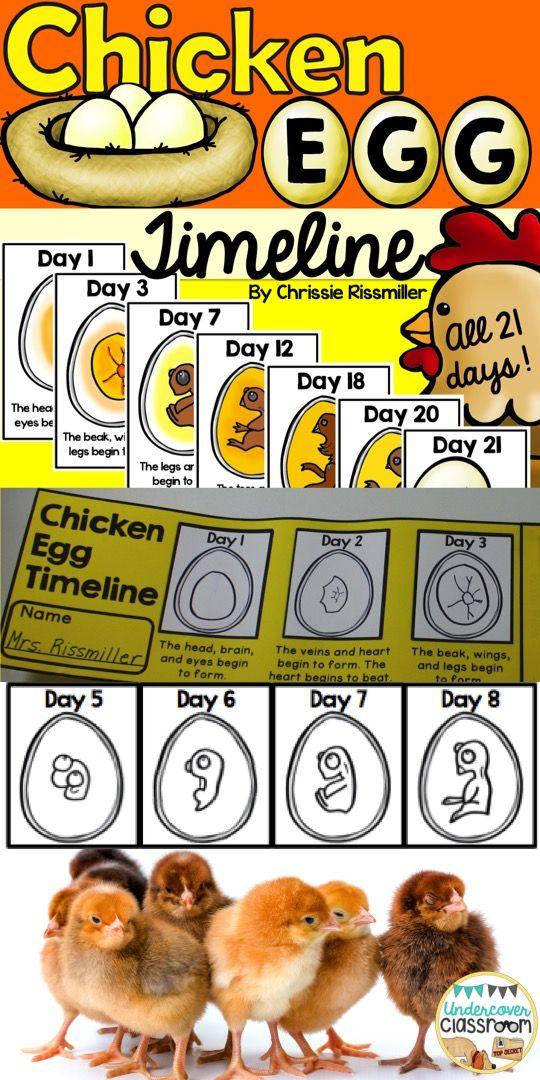 Chicken Egg Incubation Timeline  Timeline Egg And Students