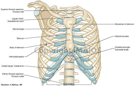 detailed diagrams and information regarding the chest bones and, Skeleton