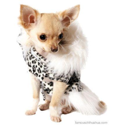 Chihuahua Clothing Models Bella And Ruby Chihuahua Chihuahua