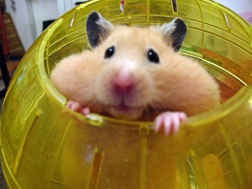 Amenager La Maison De Son Hamster Le Grand Hamster D Alsace ハムスター ハムスター 画像 動物
