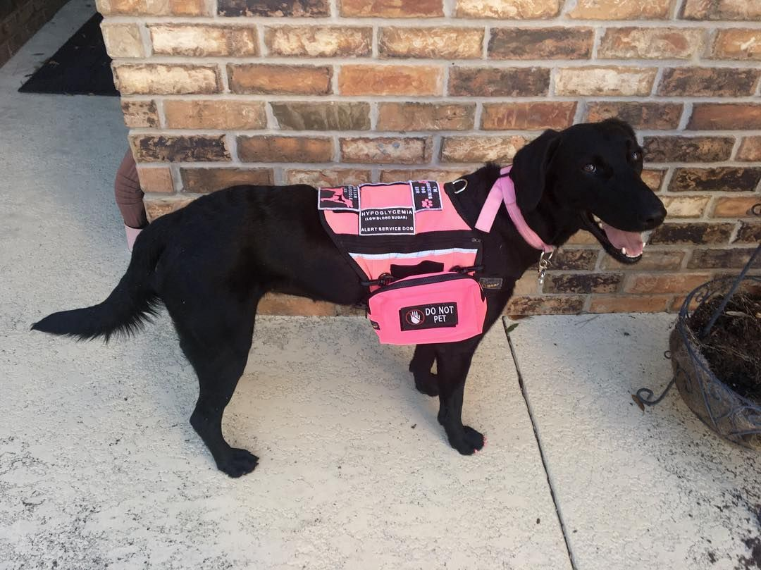 Esther the Service Dog in her new pink vest ready to work