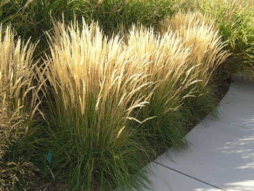 Calamagrostis 39 karl foerster 39 grasses and bamboo for Perennial grasses for sun
