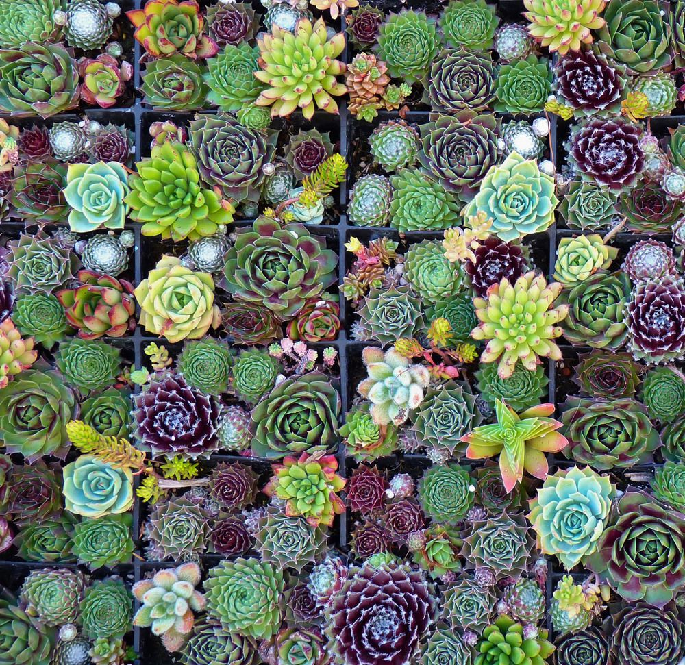 Succulent Squares (Succulent design by Robin Stockwell of