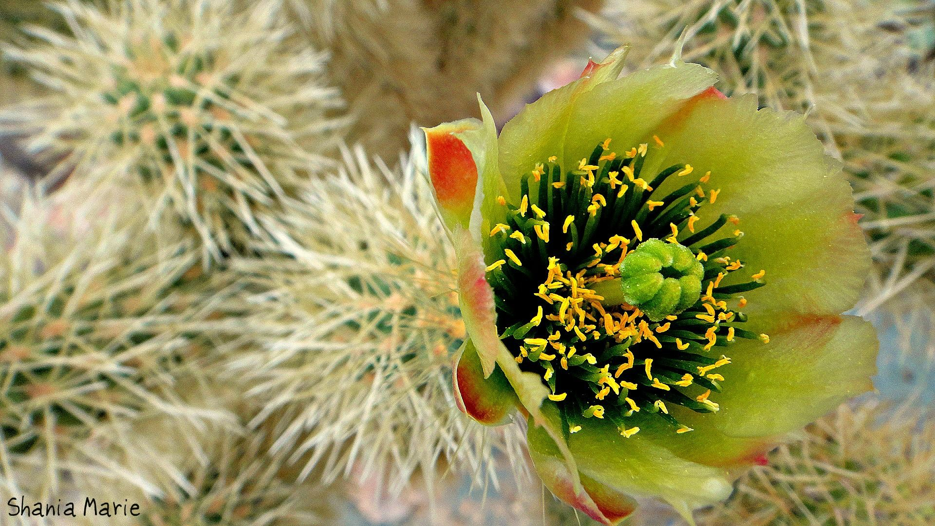 Arizona cactus flower photography pinterest arizona cactus and
