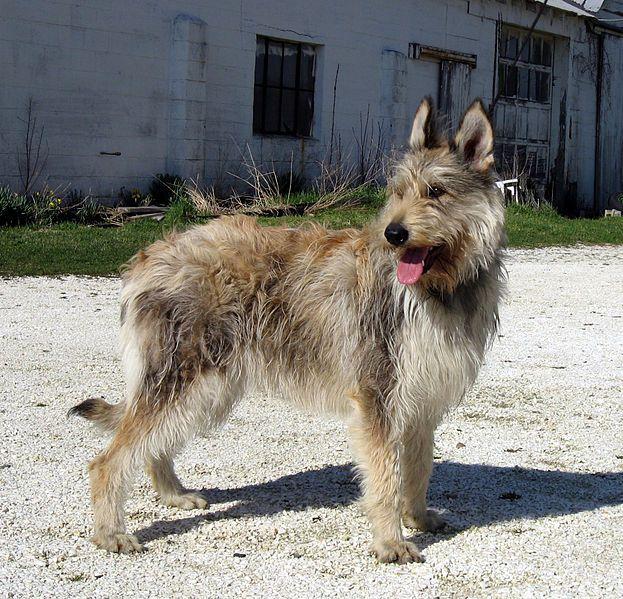 PICARDY SHEEPDOG/BERGER DE PICARD Scruffy dogs, Dog