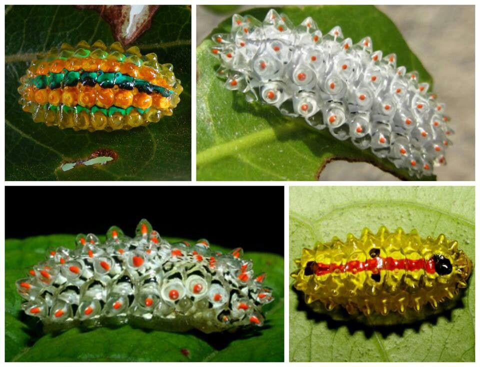 Jewel Caterpillars