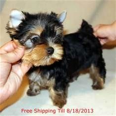 Teacup Yorkie Puppies Sale Beautiful Yorkies Pinterest Yorkie