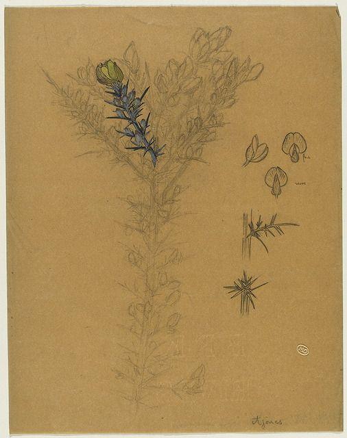 Etude de rameaux d'ajoncs, 3 études d'1 gousse et d'une fleur d'ajonc, 2 études d'épines d'ajoncs Lalique Jules-René
