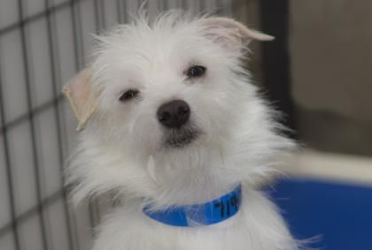Meet Stevie A 10 Months 28 Days Chihuahua Short Coat Maltese Available For Adoption In Colorado Springs Co Chihuahua Find Pets Adoption