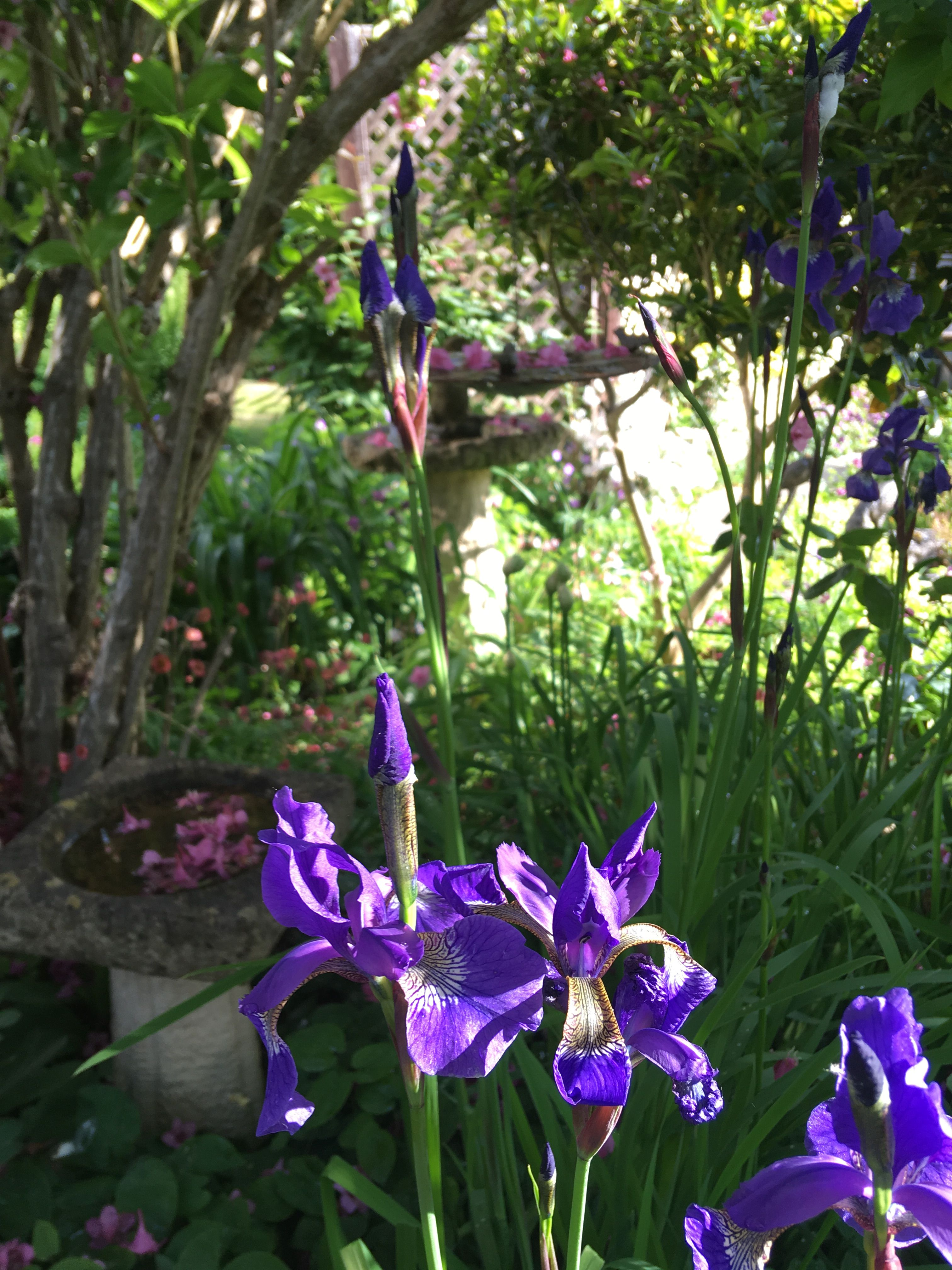 Iris Sibirica Showy Flowers Horticulture Plants