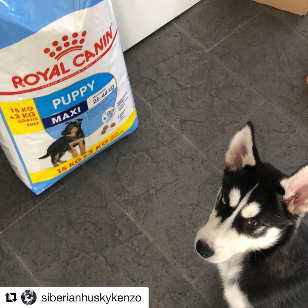 Great Choice Siberianhuskykenzo Find The Right Formula For Your