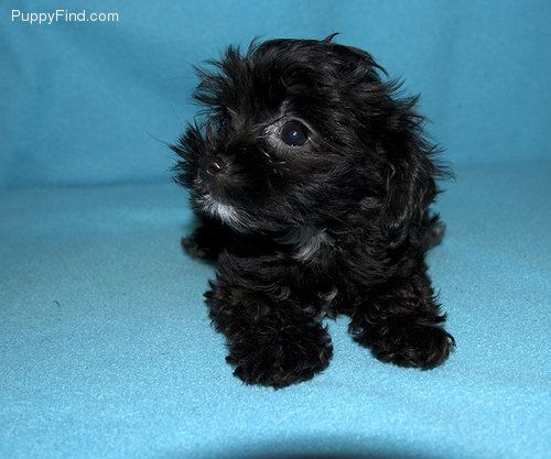 Chipoo Love My Critters Cute Animals Puppies Fur Babies