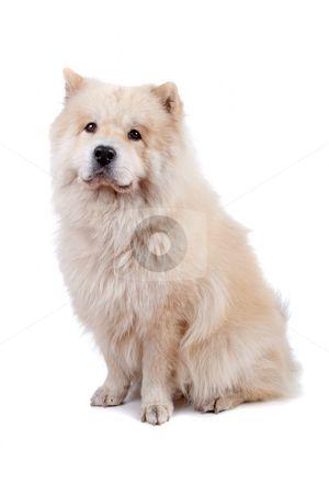 Chow Chow Samoyed Cross Acalderon20 Samoyed Animals Pets