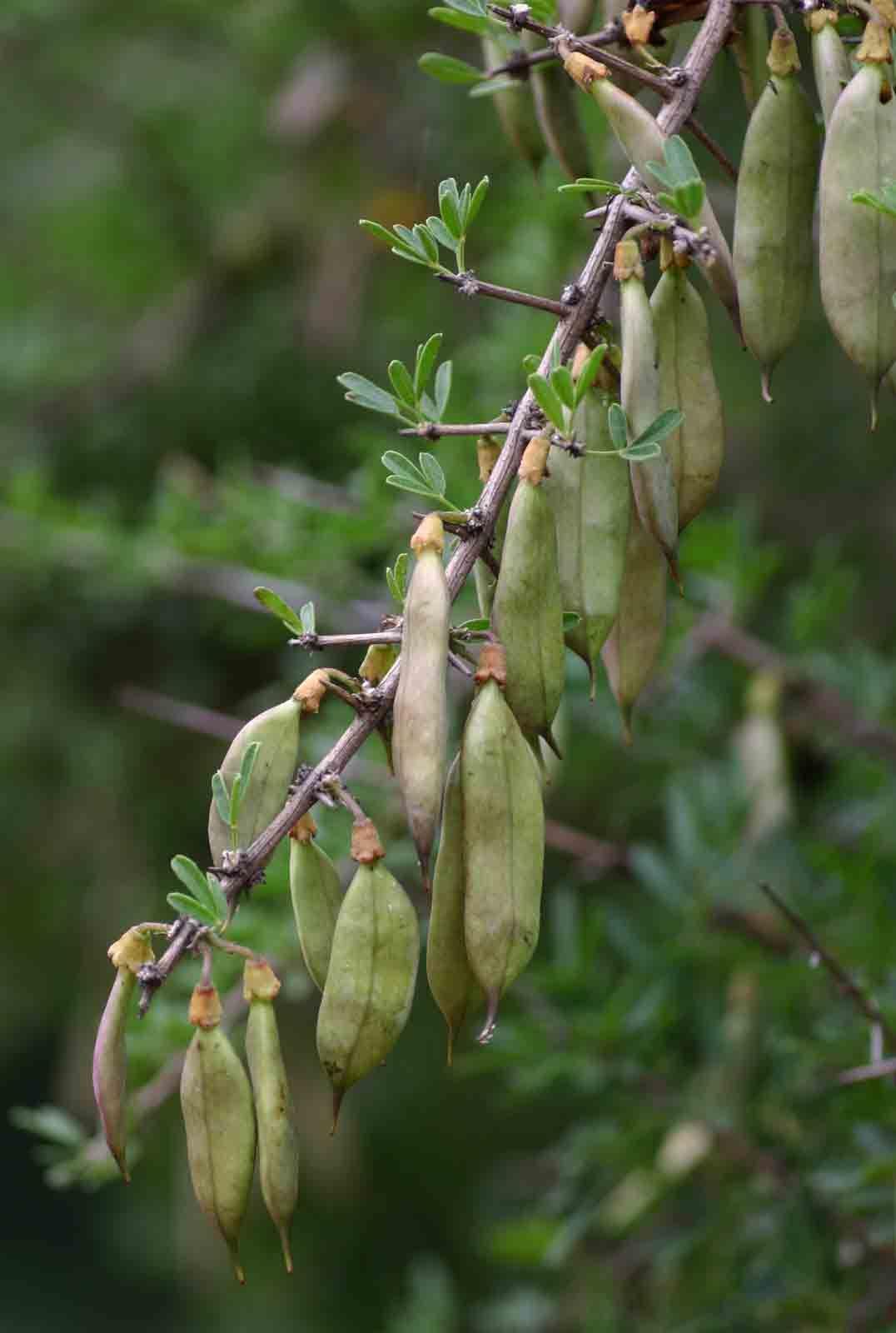 Rhigozum Obovatum Karoo Gold Geelberggranaat S A No 675 Zimbabweseedsflora Fruitplants