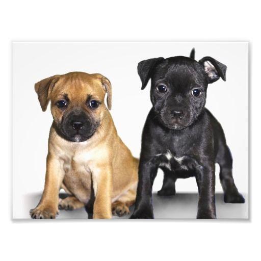 Staffordshire Bull Terrier Puppies Photo Print Zazzle Com Staffordshire Bull Terrier Puppies Bull Terrier Puppy Pitbull Terrier