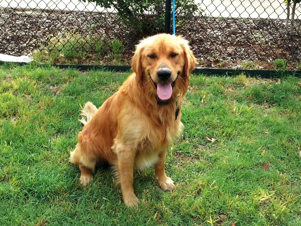 Sawyer Is A One Year Old Golden Retriever Available For Adoption