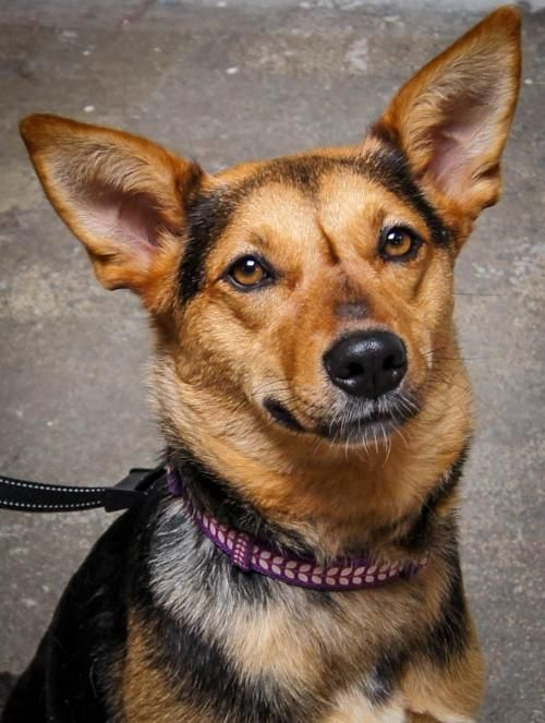 Adopt Liv On Shepherd Mix Dog Dogs Animal Rescue